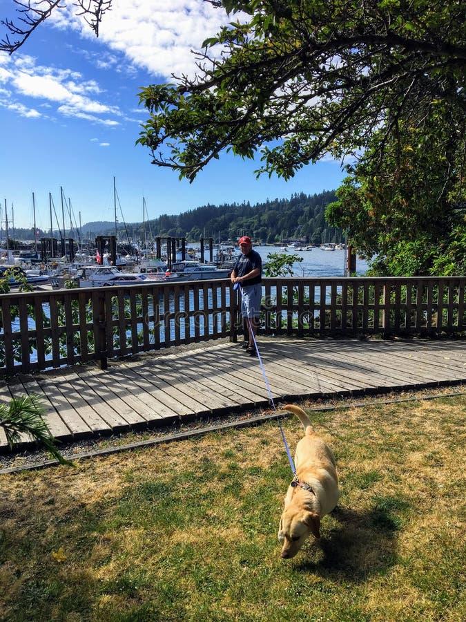 Ein Mann, der beim Gehen von seinem gelben Labrador gezogen erhält lizenzfreie stockfotos