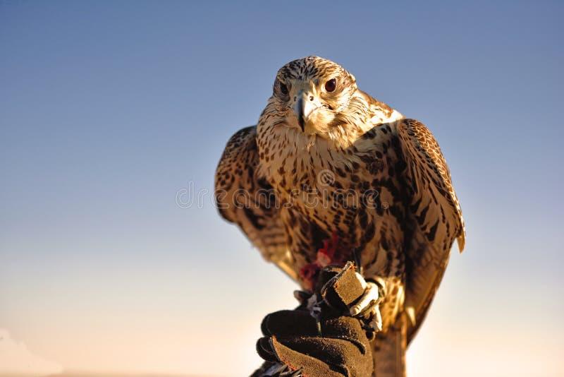 Ein Mann, der einen Raubvogel in der Wüste hält lizenzfreies stockbild