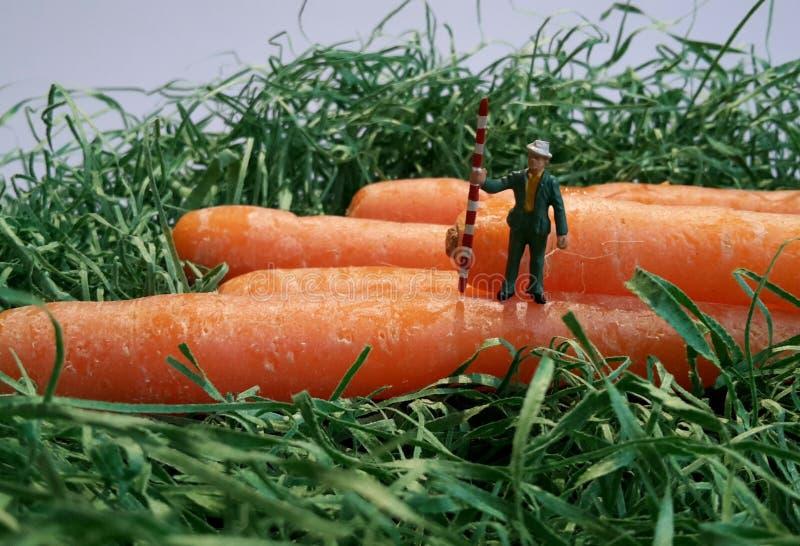 Ein Mann an einem Karottenfeld stockfotografie