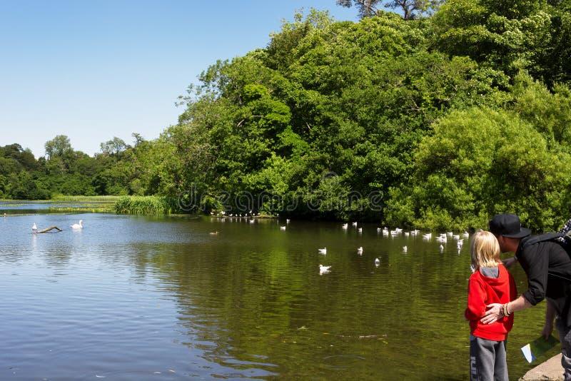 Ein Mann und ein Kinderbereitstehender Teich und Betrachten von Seemöwen, Ente stockbild