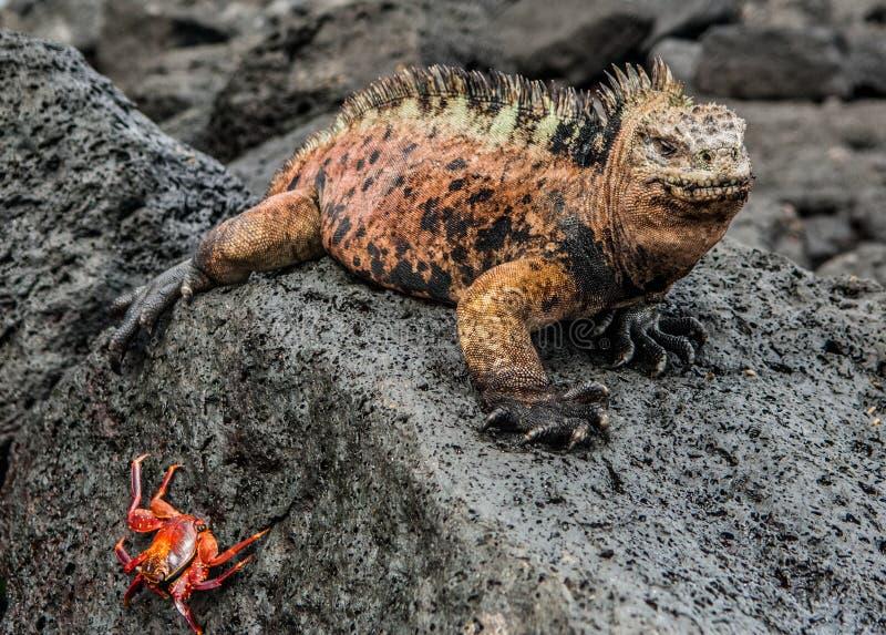 Ein Mann von Galapagos Marine Iguana stillstehend auf Lava schaukelt lizenzfreies stockbild