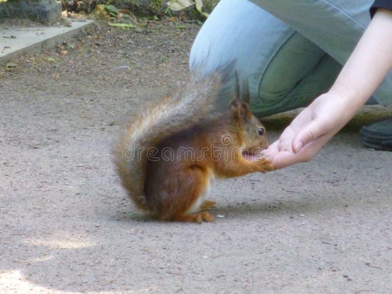 Ein Mann zieht ein Eichhörnchen ein stockbilder