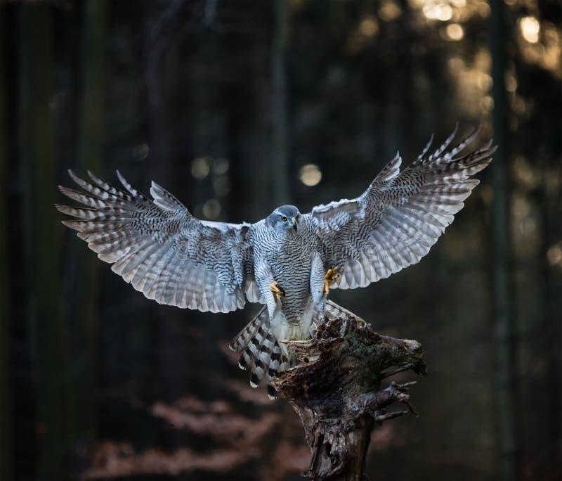 Ein Mannhühnerhabicht Accipiter gentilis, die auf dem Stumpf im Wald landen stockbilder