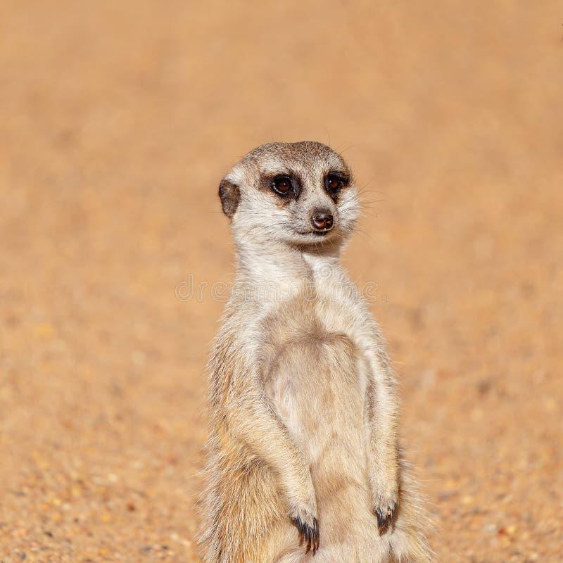 Ein Meekat, das einen Blick herum hat stockbilder