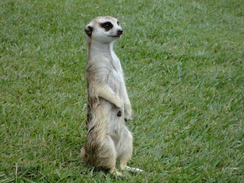 Ein meerkat stockfotos