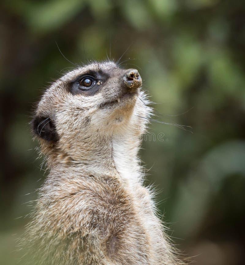 Ein meerkat, das aufwärts im Himmel mit Sand auf seiner Nase oder Schnauze steht und schaut Schlie?en Sie herauf Foto lizenzfreie stockfotografie