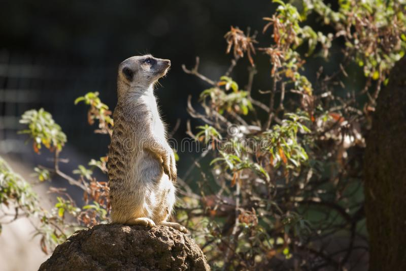Ein Meerkat, das oben auf einem Felsen sitzt stockbild