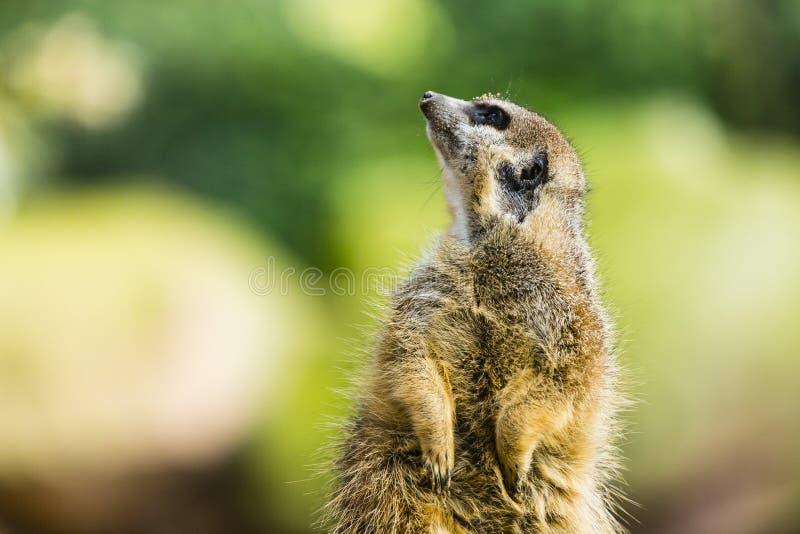 Ein meerkat, das oben schaut stockbild