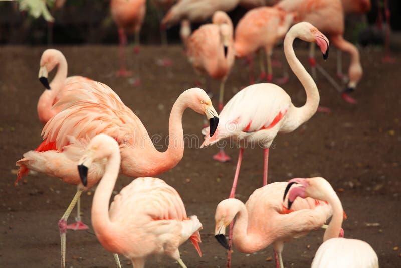 Ein Menge Flamingo Rosa Vögel im Naturpark stockfoto