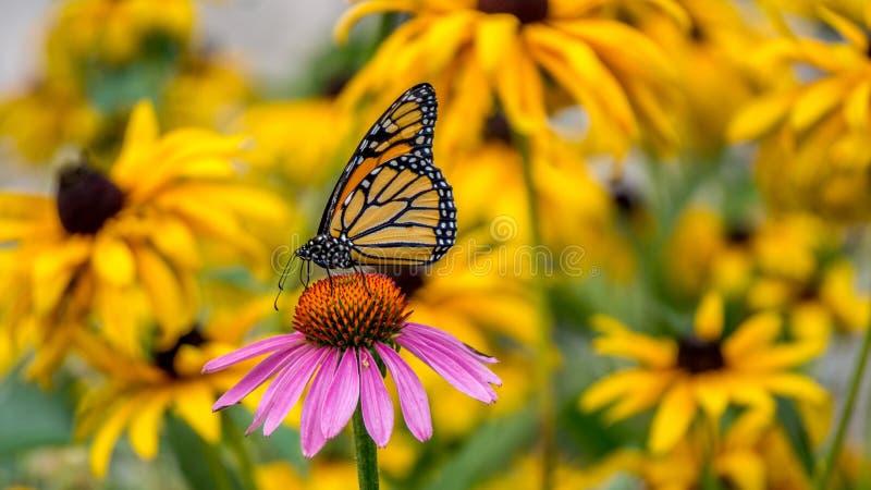 Ein Monarchfalter auf einer purpurroten Echinaceakegelblume lizenzfreies stockfoto