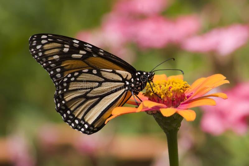 Monarchfalter, der auf Zinnia-Blume einzieht lizenzfreies stockfoto