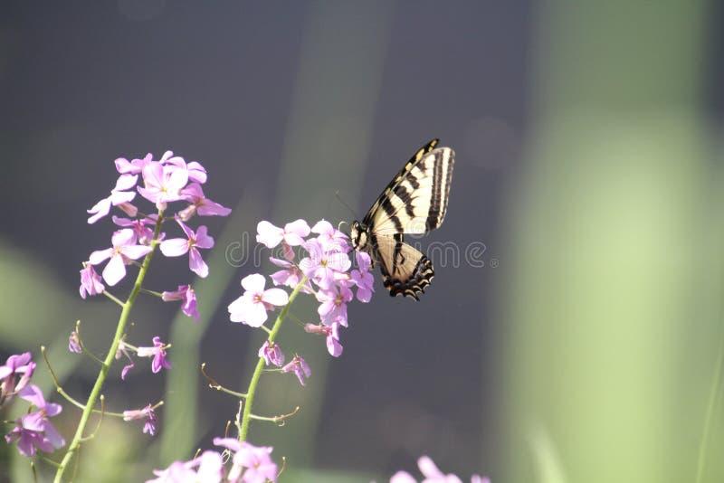 Ein Monarchfalter, der auf einer purpurroten Blume sitzt lizenzfreies stockfoto