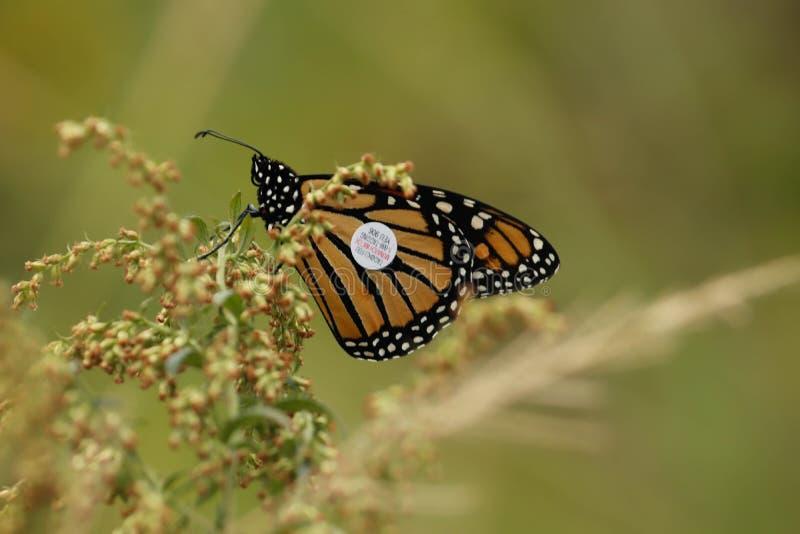 Ein Monarchfalter mit einem Spurhaltungsumbau auf einer Betriebsfütterung stockfotos