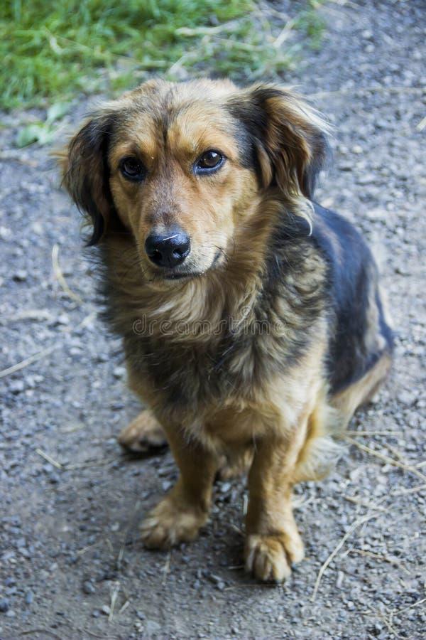 Ein Mongrel-Hund stockbild