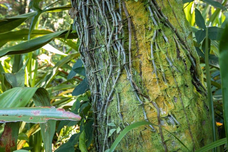 Ein moosiger Baum mit Reben stockfoto
