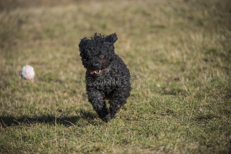 Ein mudi Hund, der einen weißen Ball nachläuft stockfotos