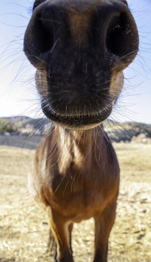Ein mule's Nasenloch lizenzfreie stockfotos