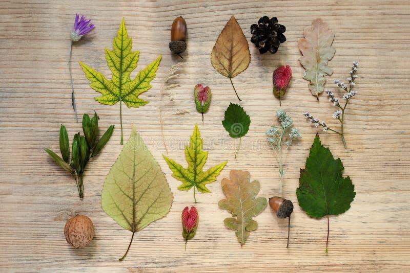 Ein Muster des Herbstes findet - gelbe Ahornblätter, Eiche, trockene wilde Blumen, Eicheln Hölzerner Hintergrund Vase mit trocken stockfoto