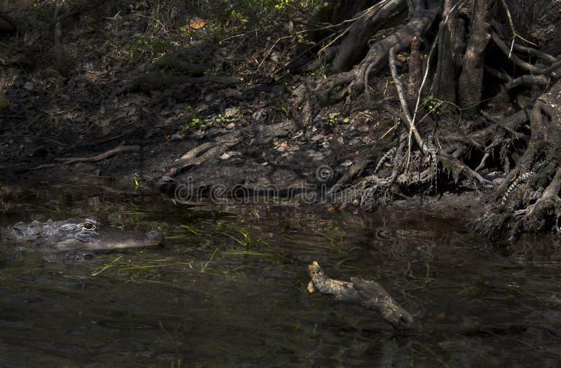 Mutter-Alligator, der über Babys aufpasst lizenzfreie stockfotos