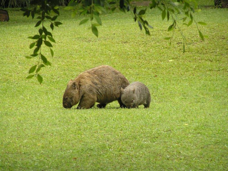 Ein Mutterwombat und -baby stockfotografie