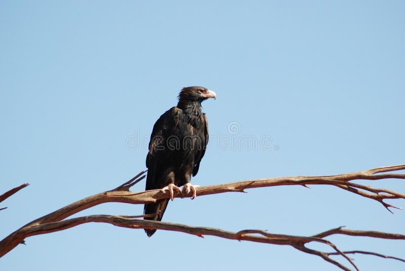 ein näherer Blick am Zwängen-angebundenen Adler stockbilder