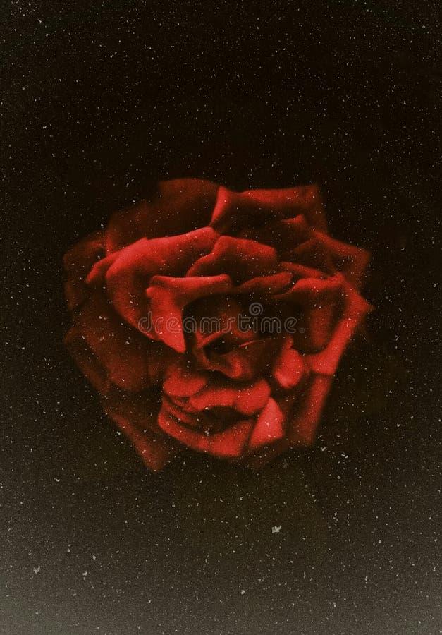Ein Nahaufnahmeschuß einer schönen roten Rose mit dunklem Hintergrund stockbild