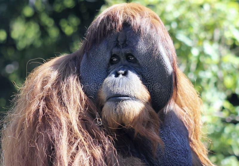 Ein nahes Porträt eines männlichen Orang-Utans lizenzfreie stockfotos