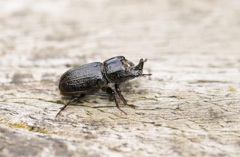 Ein Nashorn-Käfer, Sinodendron-cylindricum, gehend über einen Klotz lizenzfreie stockfotos