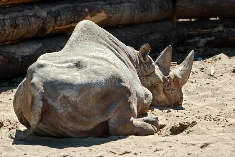 Ein Nashorn mit einem großen Horn liegt auf dem Sand, sich drehte rückwärts lizenzfreie stockfotos