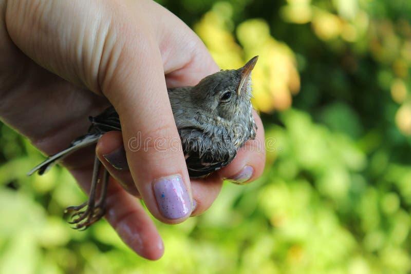 Ein nasser kleiner Vogel in seiner Hand lizenzfreie stockfotografie