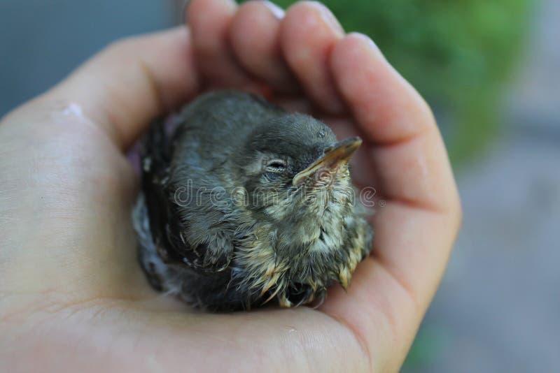 Ein nasser kleiner Vogel in seiner Hand stockbild