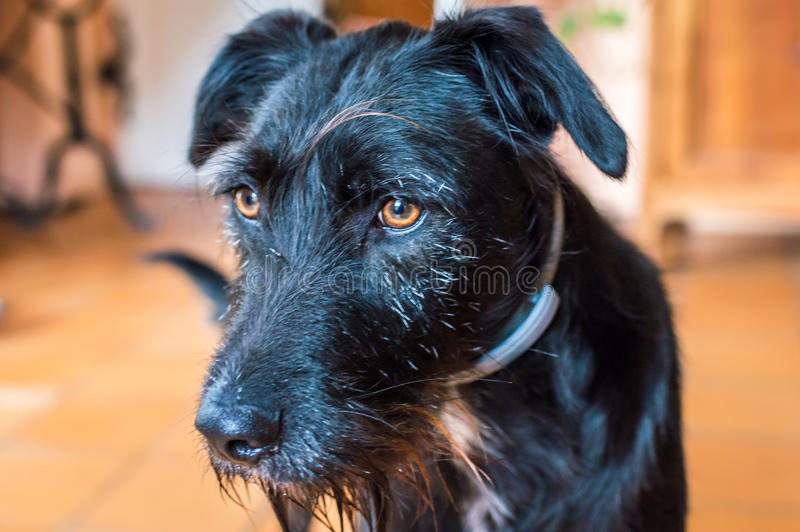 Ein nasser schwarzer Hund stockfoto