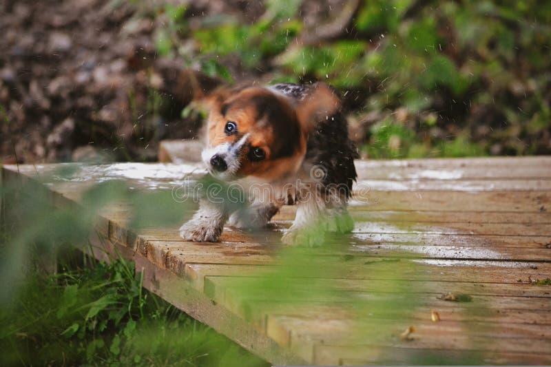 Ein nasser Welpe stockbild