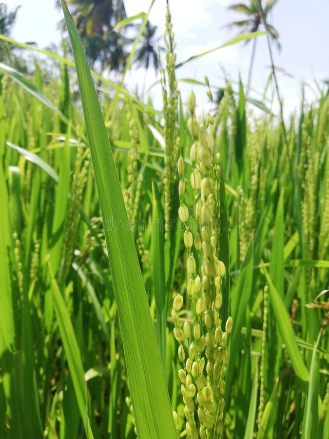 Ein natürlicher Reisbaum in Sri Lanka lizenzfreie stockfotos
