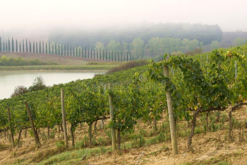 Ein nebeliger Tag im toskanischen Weinberg, Italien stockbilder