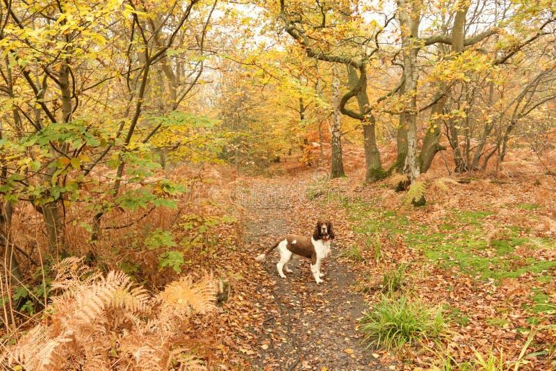 Ein nette englischer Springer-Spaniel-Hundcanis Lupus familiaris, die einen Weg in Bencroft-Holz im Herbst in Hertfordshire, Groß lizenzfreie stockfotografie