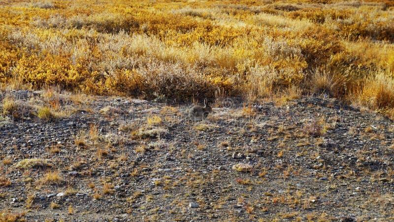 Ein netter grauer Hase, der in der Tundra sitzt lizenzfreies stockfoto