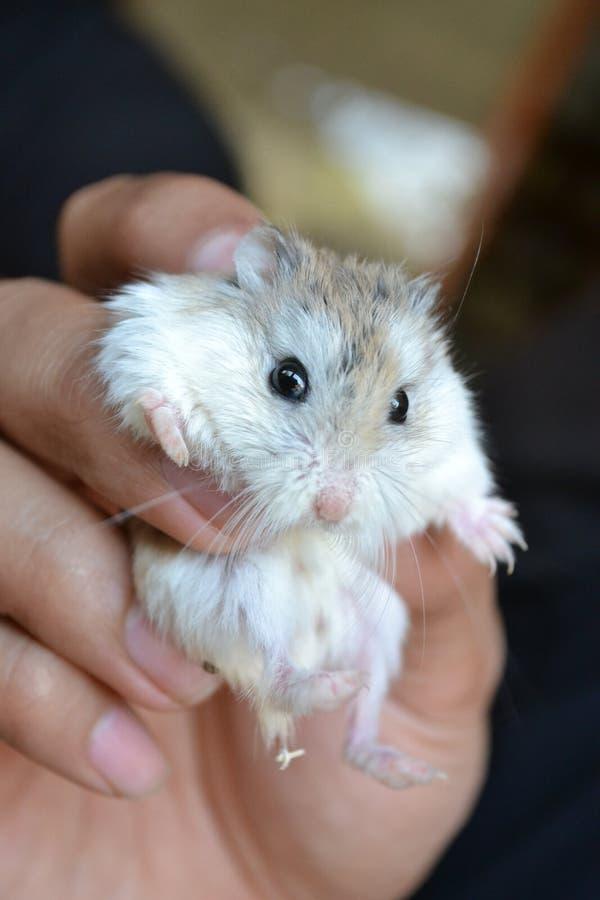 Ein netter Hamster stockbilder