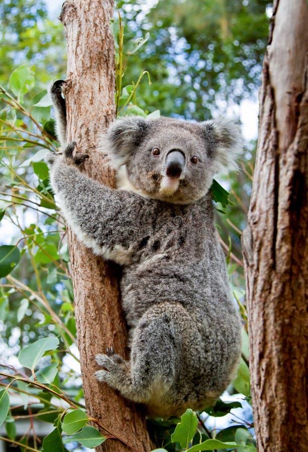 Ein netter Koala, der dem Stamm eines Eukalyptusbaums in Austr anhaftet lizenzfreie stockfotografie