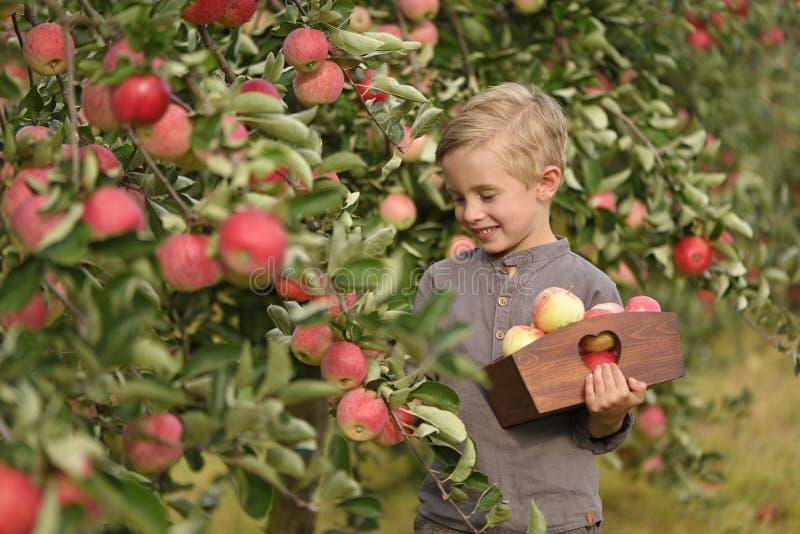 Ein netter, lächelnder Junge wählt Äpfel in einem Apfelgarten aus und hält einen Apfel lizenzfreie stockfotografie