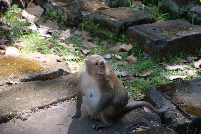 Ein netter Pelzaffe sitzt auf einem Steinblock Schwangerer Affe Die Nippel des Affen Tiere von Südostasien stockbild