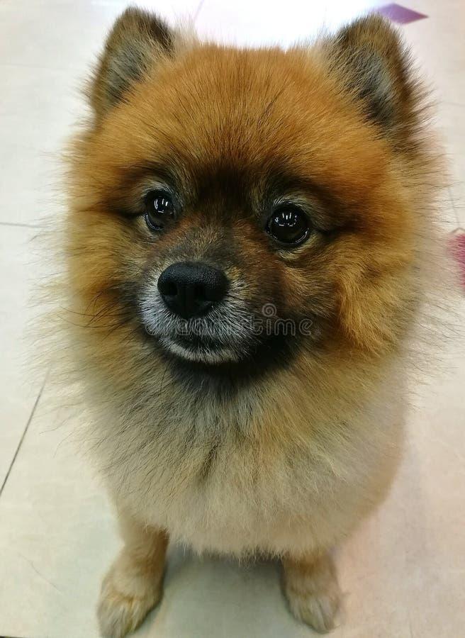Ein netter Pomeranian-Hund, der auf dem Boden sitzt lizenzfreie stockfotografie