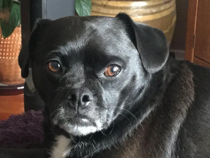 Ein netter schwarzer Hund lizenzfreies stockbild