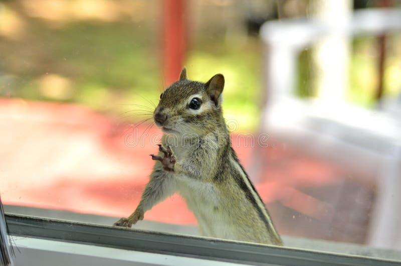 Ein nettes entzückendes Streifenhörnchen mit beiden Vorderpfoten, Füße auf dem Fenster, schauend innerhalb meines Hauses lizenzfreie stockfotografie
