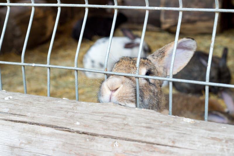 Ein nettes flaumiges graues Kaninchen schaut durch einen Eisenkäfig und bittet um Lebensmittel stockbilder