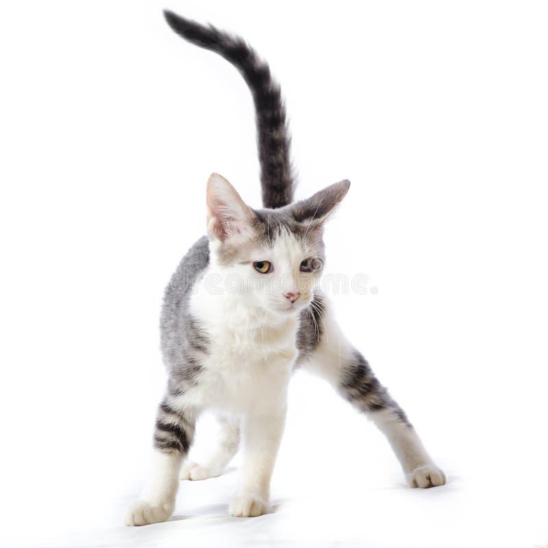 Ein nettes gestreiftes weißes und graues Kätzchen der getigerten Katze mit ihrem Endstück oben lizenzfreies stockbild