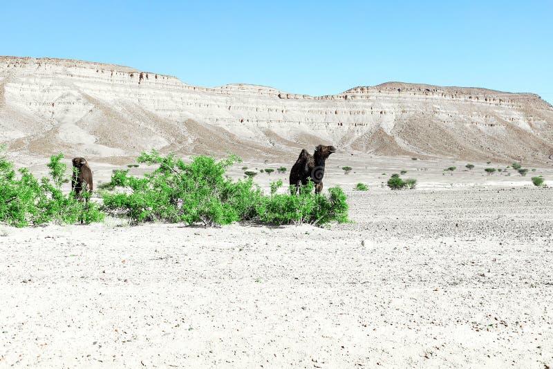 Ein nettes, wildes, einhöckriges Kamel in der marokkanischen Wüste lizenzfreie stockfotos