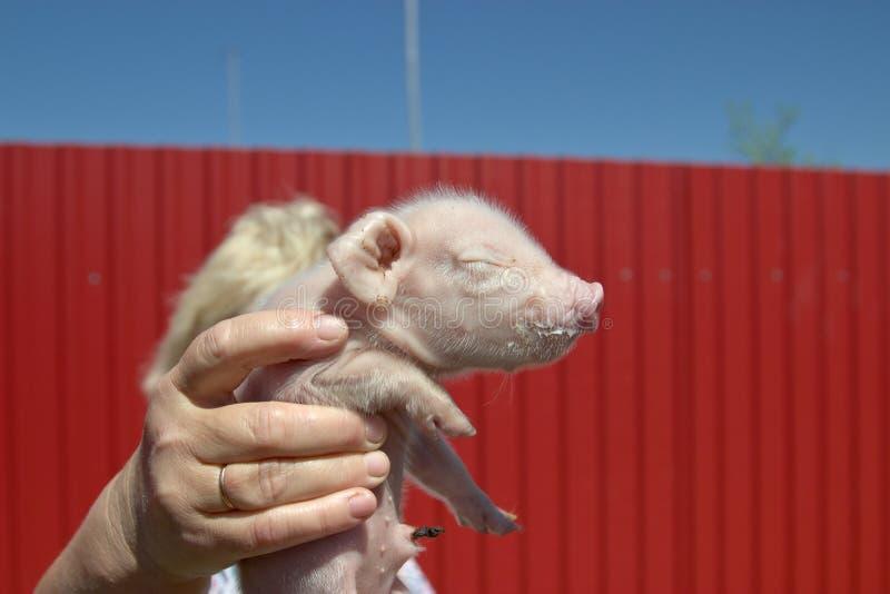 Ein neugeborenes Ferkel in den Händen einer Frau lizenzfreies stockfoto
