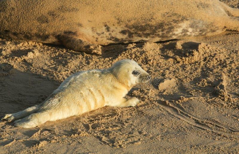 Ein neugeborenes Grey Seal-Welpe Halichoerus-grypus, das auf dem Strand an einem sonnigen Tag an Horsey, Norfolk, Großbritannien  lizenzfreies stockbild