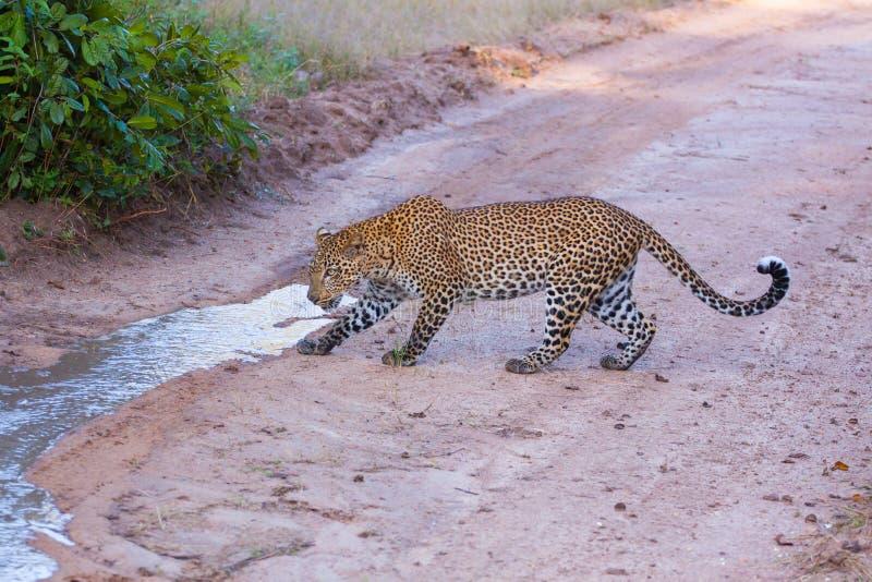 Ein neugieriger Leopard, der einen Wasserstrom nachforscht stockfoto